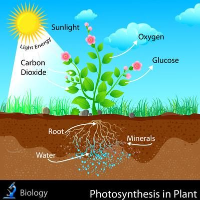Photosynthesis in Plant | Photosynthesis, Photosynthesis projects ...
